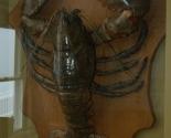 28lb Lobster